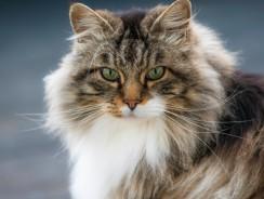Norwegian Forest Cat Basic Information